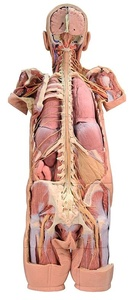 Nervous System Dissection (posterior view) (1400)